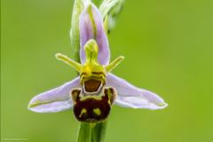 Bee Orchid (Ophrys apifera) (BiteYourBum.Com Photography) Tags: uk blue england orchid westsussex unitedkingdom bee canonef1740mmf4lusm ophrysapifera beeorchid ipad heyshott canonefs60mmf28macrousm biteyourbum canoneos7d appleipad dawnandjim canonspeedlite430exii sigma50500mmf4563dgoshsm loweproprorunner350aw murraydownlandtrust biteyourbumcom camranger heyshottchalkdownlandnaturereserve