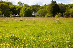 Summer Meadow (Rutger Blom) Tags: flowers trees summer green nature field grass yellow 50mm europe sweden sverige sterlen zweden stenshuvud ef50mmf14usm canoneos5dmarkii