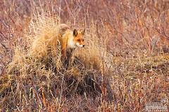 Red Fox, Vulpes vulpes, Surveys a pond from a top a tussock looking for a possble meal. Nome, Alaska (Donald Quintana Nature Photography) Tags: alaska mammal wildlife fox wildanimal hunter nome predator redfox vulpesvulpes droh dailyrayofhope photoofthedaynwf12