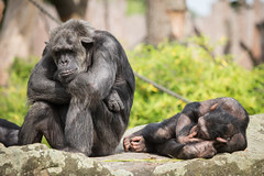 2014-06-28-10h21m19.BL7R3040 (A.J. Haverkamp) Tags: germany zoo chimpanzee muenster mnster munster dierentuin chimpansee canonef100400mmf4556lisusmlens httpwwwallwetterzoode pantroglodytusverus