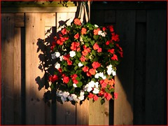 MADE EXPLORE, FIRST TIME!!! Impatiens In The Fading Light of Day (Daryll90ca) Tags: flowers sunlight flower fence explorer impatiens impatien explored expore