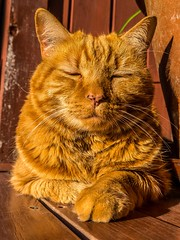 """Tigger enjoying the sun • <a style=""""font-size:0.8em;"""" href=""""http://www.flickr.com/photos/91306238@N04/14392156138/"""" target=""""_blank"""">View on Flickr</a>"""