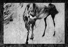 Old Horse (D'ArcyG) Tags: blackandwhite bw horse abstract nature monochrome animals textures impression