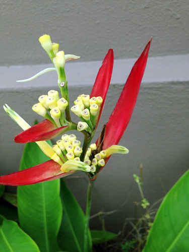 Yellow flower head (bracts) in Heliconia