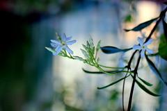 Blue bokeh (la_cla25) Tags: flowers blue flower canon bokeh blu fiori fiore