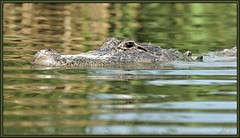 Why you ask??? #5 (WanaM3) Tags: nature water eyes texas reptile wildlife sony alligator lizard bayou hide pasadena canoeing predator paddling waterway a77 alligatormississippiensis horsepenbayou sonya77 wanam3