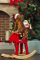 IMG_3398e (bigdogs_ru) Tags: dog black studio greatdane студия russiantoy русскийтой немецкийдог черныйдог чёрныйдог