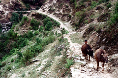 21-241 (nick dewolf photo archive) Tags: nepal boy people mountain mountains color film animals rural 35mm landscape child cattle 21 path nick horns ox trail mountainside nepalese 1970s hillside 1972 livestock oxen himalayas nepali dewolf nickdewolf photographbynickdewolf reel21 hillyregion