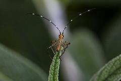 Mexican Bush Katydid (siamesepuppy) Tags: macro canon bug insect bush 100mm mexican katydid antlion arthropoda invertebrate entomology arthropod 60d