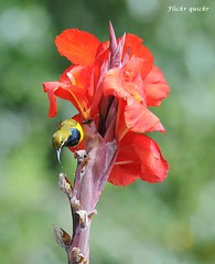Olive-backed Sunbird (flickr quickr) Tags: australianbirds olivebackedsunbird nectariniajugularis sunbirds