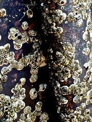 The Beauty of Barnacles (Cat B Photography) Tags: ocean sea summer sun shells newyork abstract macro art nature water bay pier fishing dock natural stonybrook sunny sealife longisland shellfish barnacles weathered pilings seacreatures iphone livingthings weathering naturesart