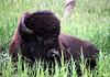 Buffalo (Kevin Hughes 348) Tags: southdakota mammal buffalo horns custerstatepark tatonka herbivore americanbison bisonbison kevinhughes