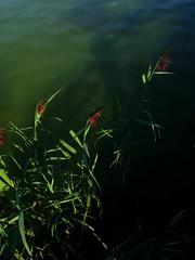IMG_7700 b (Traud) Tags: germany bayern deutschland bavaria wasser grün chiemsee schilf fraueninsel