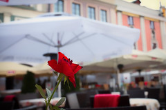 Red Rose _4183 (hkoons) Tags: flower rose europe country nation poland polish easterneurope zamo zamovoivodeship