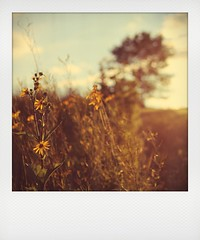 summer's sunset (cherrygurl) Tags: sunset summer polaroid sunflowers instant canoneos6d august122014