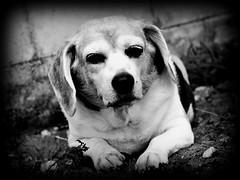 With the Beagle (writeonmusic) Tags: portrait blackandwhite bw dog beagle canon eos rebel 50mm hound hounddog eosrebel xsi 450d