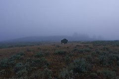 Bison at Dawn - Yellowstone National Park (Sinar84 - www.captures.ch) Tags: morning blue trees red orange usa brown white black green grass yellow fog sunrise dawn nationalpark hill gray valley yellowstonenationalpark yellowstone wyoming bushes bisons haydenvalley