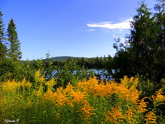 Goldenrod (Yolanta Z) Tags: nature scenery stagathe