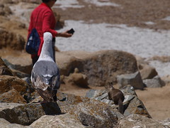 Watching the tourists (The original SimonB) Tags: california usa holiday june america olympus 17miledrive pacificgrove 2014 e420