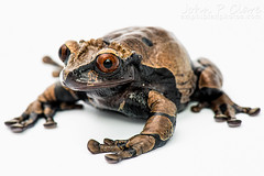 Spiny-Headed Tree Frog (Anotheca spinosa) (John P Clare) Tags: brown mexico grey costarica purple amphibian honduras frog whitebackground lilac panama treefrog centralamerica anothecaspinosa spinyheadedtreefrog coronatedtreefrog spinytreefrog