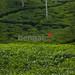 Tea Garden Sylhet
