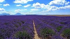 Provenza - Valensole 11 (antoniobusso) Tags: france nature landscape miel provence lavande francia paesaggi provenza lavanda lavandin