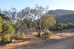 Sunset Oak (raphaelmazor) Tags: losangelescounty westerntown paramountranch santamonicamountainsnationalrecreationarea