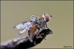 Ectophasia crassipennis (alfvet) Tags: macro nikon 10 ngc natura npc insetti sigma150 veterinarifotografi d5100