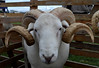 ..........and finally shave your head and add horns! (SheilaJ_P) Tags: animals nikon sheep horns curly hairstyles farmanimals 2014 buckscountyshow nikond5100 august2014