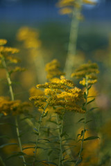 Mellow (J.M.Barclay) Tags: flowers blue usa yellow photography weeds michigan pure jmbarclay
