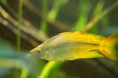 Yellow Rainbow Fish Australian Rainbow Fish 3