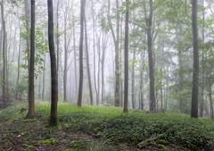 Woodland Mist (jactoll) Tags: trees light mist misty fog woodland landscape woods nikon mood broadway foggy cotswolds worcestershire nikkor d610 mistytrees 1635mmf4 jactoll nikonfxshowcase
