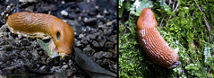 "an orange ""monster"" in the forest (lunaryuna) Tags: italy colour nature forest woods slug slime moisture mollusc veneto nacktschnecke"