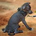 Toy Xoloitzcuintli puppy