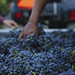 2014 Merlot Harvest for Jordan Winery at Munselle Vineyard