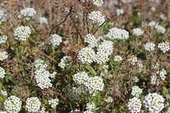 Lobularia maritima (ST33VO) Tags: flowers plant flower alcatraz alyssum brassicaceae maritima sweetalyssum lobularia maritimum sweetalison