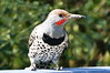Sloppy Northern Flicker (jimculp@live.com / ProRallyPix) Tags: olympia flicker