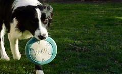 Incoming (iainwalker) Tags: dog pet white black green grass collie lawn melbourne kong frisbee bordercollie fetch mydog 2014 nikond7100 scottishsheepdog
