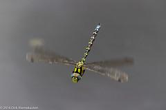 Aeshna cyanea (Ken_Binobi) Tags: blue male green animal insect deutschland dragonfly rheinlandpfalz odonata anisoptera aeshnidae aeshnacyanea southernhawker aeshna wiltingen bluehawker maleaeshnacyanea