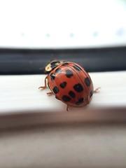 Ladybird on the ledge (grahame9590) Tags: macro mobilephone ladybird iphone 5s
