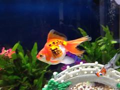 Yolanda - Ryukin Goldfish (Mig_R) Tags: fish aquarium goldfish fancy aquatic harrogate fishes yolanda ryukin freshwater aquariums 2014 freshwaterfish redfearn redfearnmews samsfish