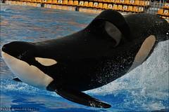Keto (Mantrize) Tags: ocean sea blackandwhite mar tenerife orca teneriffa canaryislands killerwhale orcas oceano islascanarias loroparque marinemammals cetacean cetaceos mamiferosmarinos mustcanarias