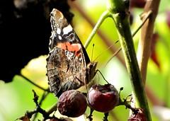 admirálislepke / Red Admiral (debreczeniemoke) Tags: autumn butterfly garden harvest redadmiral admiral atalanta kert nymphalidae vanessaatalanta vulcain ősz lepke szüret pyrameisatalanta atalantalepke admirálislepke canonpowershotsx20is flutureamiral tarkalepkefélék főlepkék