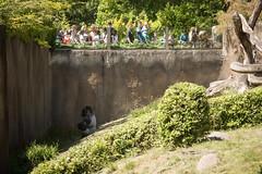 2015-06-04-14h20m18.BL7R2437 (A.J. Haverkamp) Tags: zoo rotterdam blijdorp gorilla dierentuin diergaardeblijdorp westelijkelaaglandgorilla bokito httpwwwdiergaardeblijdorpnl canonef100400mmf4556lisusmlens dob14031996 pobberlingermany