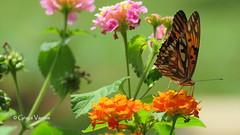 Ƹ̵̡Ӝ̵̨̄Ʒ (✿ Graça Vargas ✿) Tags: butterfly borboleta ©2017graçavargasallrightsreserved brasilia brasil flower agraulisvanillae lantana graçavargas 25709100517