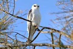 Black-shouldered Kite_4064E (Neil H Mansfield) Tags: bird raptor kite laurieton haven camdenhaven elanusaxillaris blackshoulderedkite