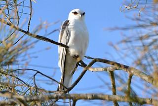 Black-shouldered Kite_4064E
