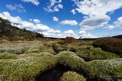 20170301-45-Pineapple grass (Roger T Wong) Tags: australia greatpinetier np nationalpark sel1635z sony1635 sonya7ii sonyalpha7ii sonyfe1635mmf4zaosscarlzeissvariotessart sonyilce7m2 tasmania wha wallsofjerusalem worldheritagearea alpine bushwalk camp clouds hike landscape trektramp walk