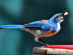 "ScrubJay_02 (DonBantumPhotography.com) Tags: wildlife nature birds scrubjay ""donbantumphotographycom"" ""donbantumcom"" ""nikon d7200"" ""afs nikkor 200500mm f56e ed vr"""