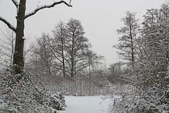 IMGP5424 (Henk de Regt) Tags: bos sneeuw natuur bomen riet landschap oerbos nederlandsenatuur beekbergerwoud klarenbeek veluwe forest snow nature trees reeds landscape virginforest dutchnature